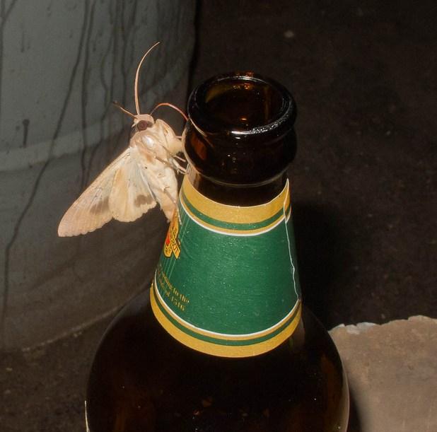 mariposa bêbada